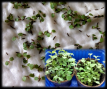 Stevia-Seeds-sprouting.png